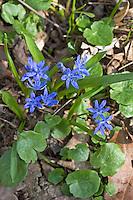 Zweiblättriger Blaustern, Sternhyazinthe, Scilla bifolia, two-leaf squill, alpine squill