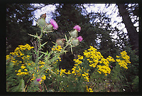 Migratory Monarch Butterfly Alights on Invasive Canada Thistle with Yellow Tansey Ragwort along the Sand Point Coast, Olympic National Park, Washington, US