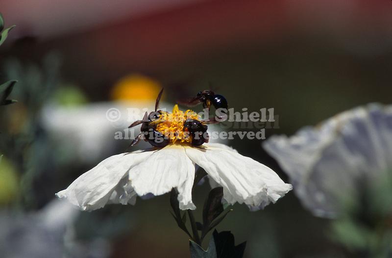 10815-HO Black Bumblebees, Bombus sp. pollenate Matilija Poppy, Romneya coulteri at Mourning Cloak Ranch, Tehachapi, CA USA