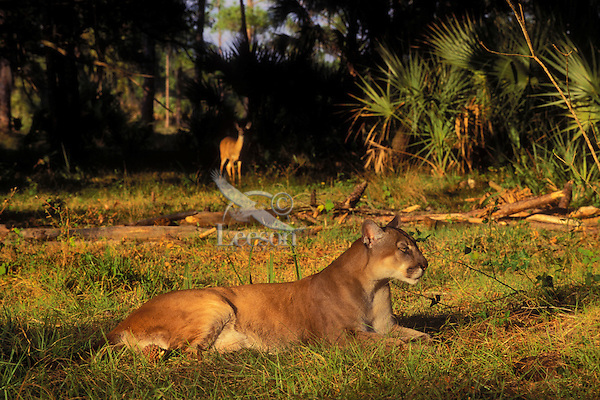 FLORIDA PANTHER and Whitetailed Deer..Endangered Species. Florida..(Felis concolor coryi).