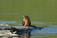 River Otter (Lontra canadensis) with cutthroat trout it has just caught.  Western U.S., June.