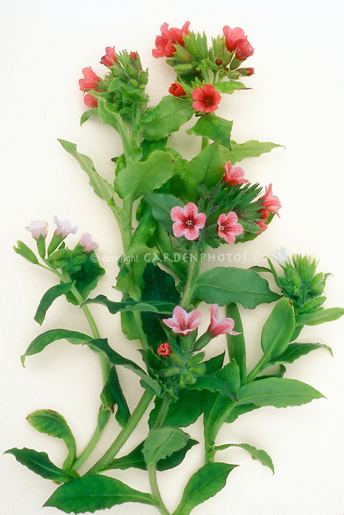 Pulmonarias, studio shot, mixed flowers and leaves foliage, ready for pressing against white background, cut flower arrangement in spring, red and pink flowers with stems, pin flowers at top, thrum flowers in middle