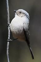 Bushtit, Fort Davis State Park