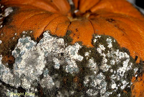 DC08-009d  Mold - growing on decaying pumpkin