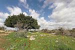 T-152 Carob tree in Hurvat Midras