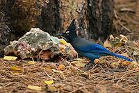 Steller's jay (Cyanocitta stelleri) looking for food among pine needles.  Western U.S., Fall.