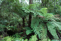 Boomvarens (Cyathea australis) in Australie