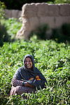 8 June 2013, Mazar-i-Sharif, Balkh Province, Afghanistan. Local woman Khanum Gul inspects her tomato plants  at her small plot - or kitchen garden - on her family property in Mazar-i-Sharif.  She is cultivating eggplants , corn, radish and tomato. Khanum is a beneficiary of the new National Horticulture and Livestock Project (NHLP) that is providing seedlings , fertiliser and technical help to beneficiaries.  The NHLP is providing training and equipment to farmers to assist in increasing production and to improve management of lands and animals. Picture by Graham Crouch/World Bank