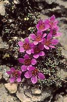 Gegenblättriger Steinbrech, Roter Polstersteinbrech, Roter Steinbrech, Saxifraga oppositifolia, Purple saxifrage, purple mountain saxifrage, Steinbrechgewächse, Saxifragaceae