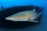 Sand tiger shark, Carcharias taurus, clasper, Bonin Islands, Ogasawara, Tokyo, Japan, Pacific Ocean