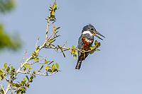 An adult female ringed kingfisher, Megaceryle torquata, Pousado Rio Claro, Mato Grosso, Brazil, South America
