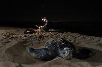 Endangered Leatherback Turtle and research biologist.nesting at Sandy Point Wildlife  Refuge.St Croix, U.S. Virgin Islands
