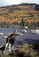 MS04-024x  Moose - cow (female) feeding at Sandy Stream Pond in Baxter State Park, Maine - Mt. Katahdin in view - Alces alces