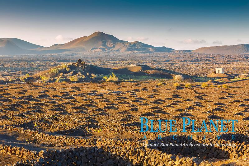 volcanic viticulture, grapevine, Vitis sp., cultivated in volcanic lapilli, La Geria region, Lanzarote, Chinijo Archipelago, Province of Las Palms, Canary Islands, Spain