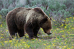 Grizzly No. 399 standing flowers and sagebrush during a spring snowfall in Grand Teton National Park, WY