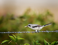 Loggerhead shrike perched on barbed wire fence with worm in it's beak