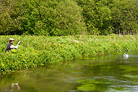 fly angler hooks a brown trout (Salmo trutta), River Itchen, England.