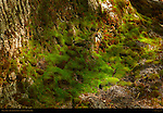Moss on Tree in Spring, Eastern Approach Trail to Lower Yosemite Fall, Yosemite National Park