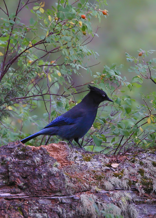 The Steller's Jay (Cyanocitta stelleri) is a jay native to western North America, closely related to the Blue Jay found in the rest of the continent, but with a black head and upper body. It is also known as the Long-crested Jay, Mountain Jay, and Pine Jay. It is the only crested jay west of the Rocky Mountains. Wade Lake, Montana.