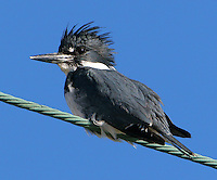 Belted kingfisher male on cable