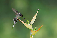 Green Hermit, Phaethornis guy, female in flight feeding on Heliconia flower, Central Valley, Costa Rica, Central America