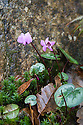 Cyclamen coum, Heligan, Cornwall, mid February.
