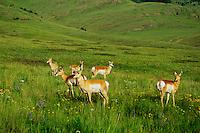 Pronghorn antelope, National Bison Range, Montana. June.