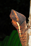 Northern Forest Crested Lizard