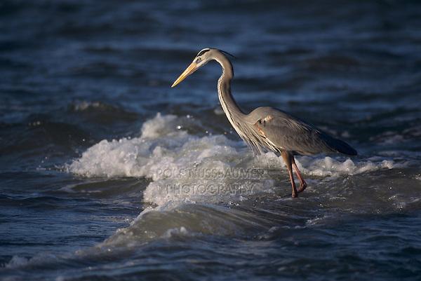 Great Blue Heron, Ardea herodias, adult fishing in ocean, Sanibel Island, Florida, USA, Dezember 1998
