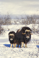 Cow and calf Musk Ox on Alaska's snowy Arctic Coastal Plain, Arctic National Wildlife Refuge.