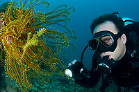 male scuba diver looking at a camouflaged Harlequin Ghost Pipefish, Solenostomus paradoxus, in yellow Featherstar, TARP, Sabah, Malaysia, Pacific Ocean