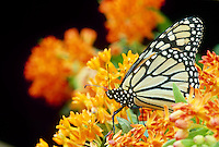 Monarch butterfly, Danaus plexippus, sitting atop orange flowers of butterfly weed, asclepias tuberosa, summer looking at the viewer