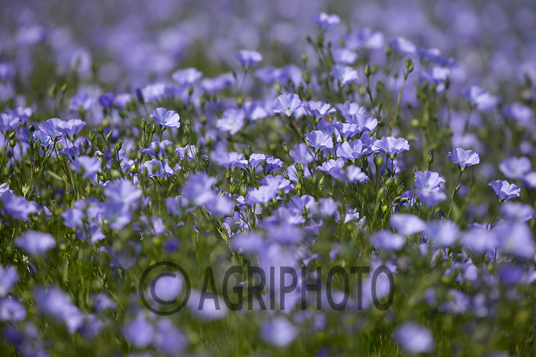 15.5.2020 Linseed flowering in Lincolnshire <br /> ©Tim Scrivener Photographer 07850 303986<br />      ....Covering Agriculture In The UK....