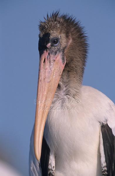 Wood Stork, Mycteria americana, immature, Lake Corpus Christi, Texas, USA