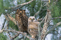 Great Horned Owl, Bubo virginianus , young and adult in mesquite tree, Willacy County, Rio Grande Valley, Texas, USA, May 2004