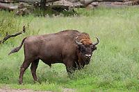 Wisent, Männchen, Bulle, Europäisches Bison, Bison bonasus, European bison, wisent, European wood bison, Wildrind
