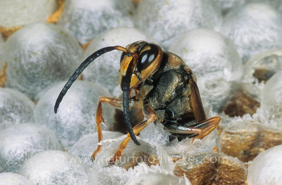 Hornisse, schlüpfendes Männchen, Schlupf, Hornissen, Nest, Hornissennest, Vespa crabro, hornet, hornets, brown hornet, European hornet, nest, hornets' nest, Le frelon européen
