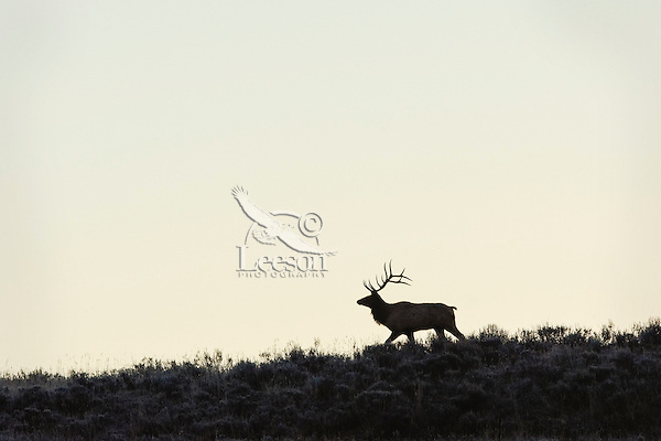 Large Bull Rocky Mountain Elk (Cervus canadensis nelsoni) silhouette.  Western U.S., fall.