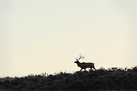 Large Bull Rocky Mountain Elk (Cervus canadensis nelsoni) silhouette.  Western U.S., fall.