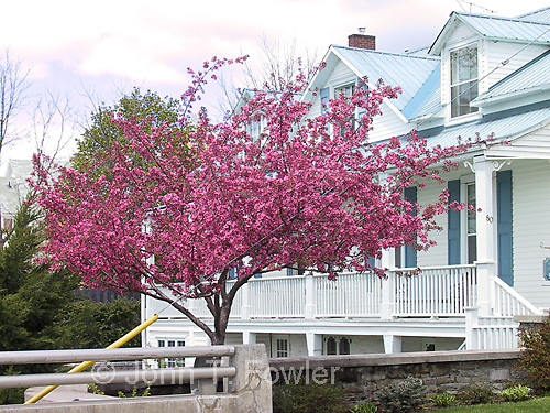 Flowering  crab apple tree, Malus spp.<br />