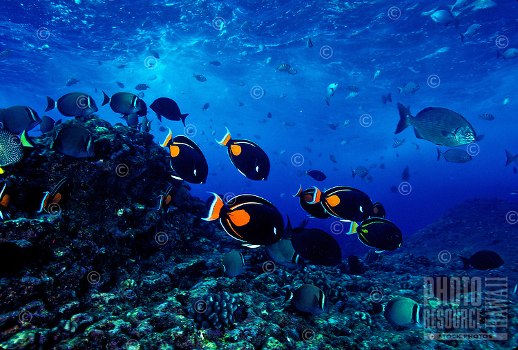 Yellow Tangs and Orangeband Surgeonfish can often be seen swimming together in schools whille they feed on Hawaii' coral reefs.