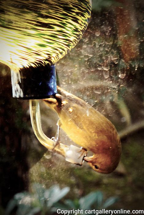 Wilson's Warbler with his beak in a hummingbird feeder. Photograph by Alan Mahood.