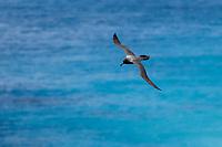 Light-mantled Albatross (Phoebetria palpebrata), in flight near Macquarie Island Station, Macquarie Island, Australia.