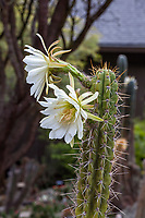 Echinopsis cuzcoensis or Trichocereus cuzcoensis (syn. Echinopsis peruviana) flowering cactus in University of California Berkeley Botanical Garden