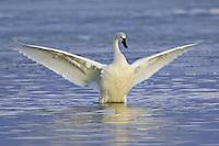 Tundra Swan stretching