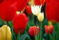 Tulips, detail #5890.