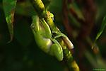 American green tree frog, Huntley Meadows Park, Alexandria, Virginia