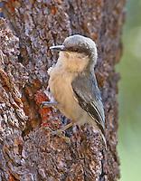 Adult pygmy nuthatch at nest hole