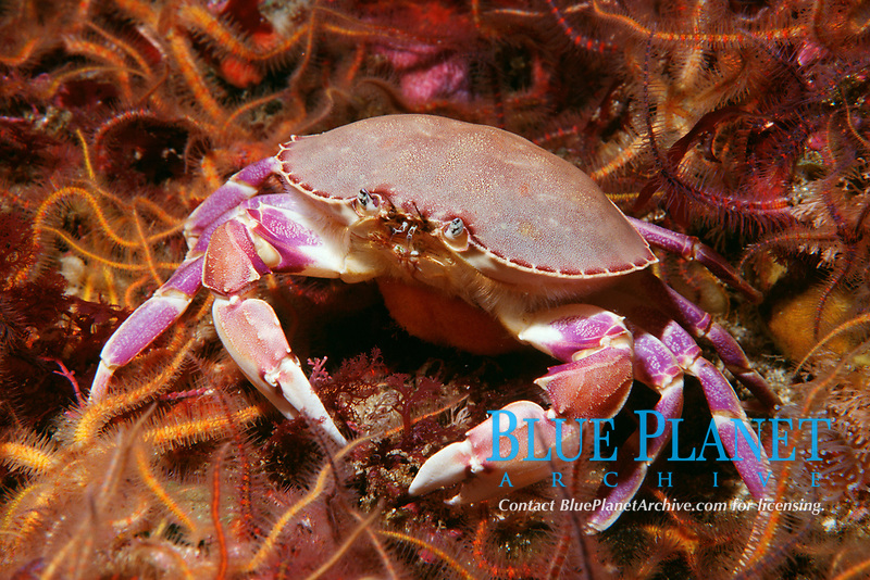 Graceful crab, Cancer gracilis, with eggs, California, USA, East Pacific Ocean
