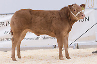 North Wales Show Potential sale at Ruthin Farmers auction Company,Ruthin,North Wales <br /> Lot 66 owned by K I & E & H I Jones sold for £4600.00<br /> Picture Tim Scrivener 07850 303986<br /> ….covering agriculture in the UK….